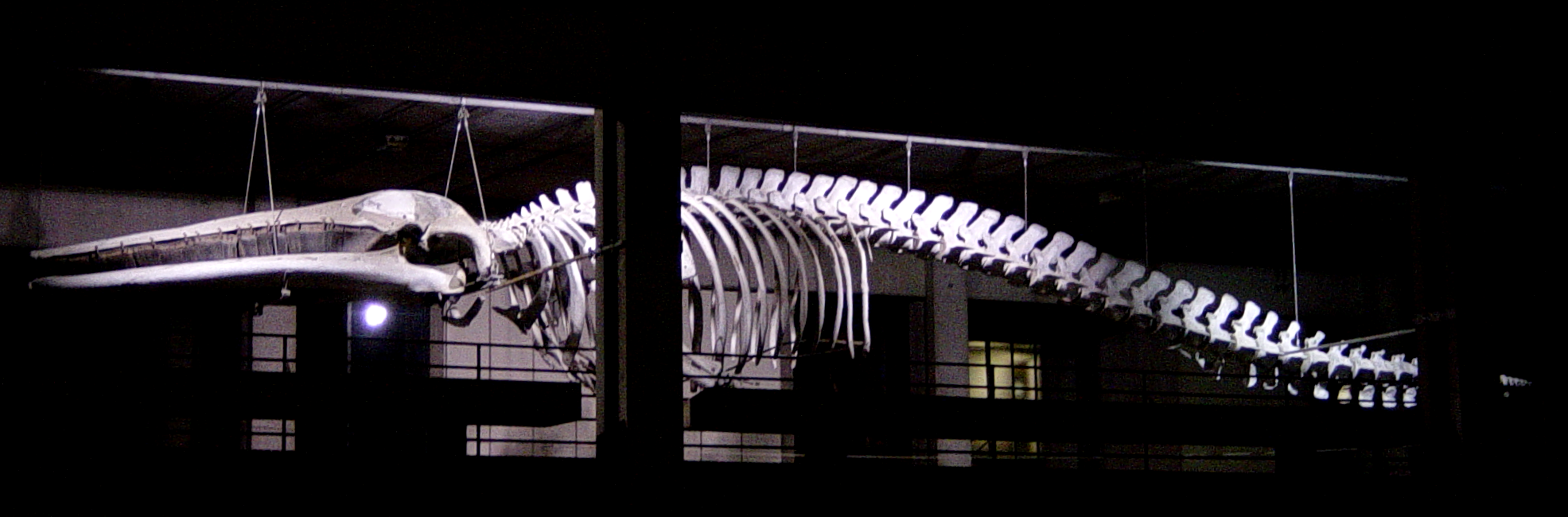 Fin whale skeleton - photo#6