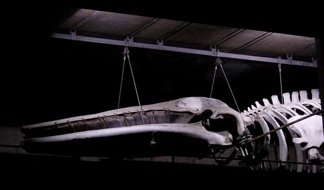 Image: Finback Whale s...